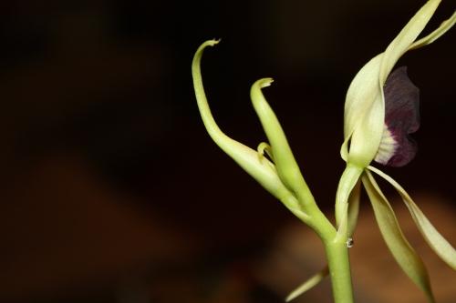 Encyclia (Anacheilium) cochleata