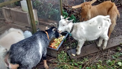 goats eating apples Oct 16 (2)