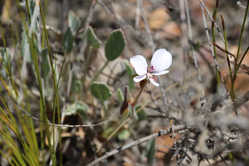P. ovale subsp. ovale