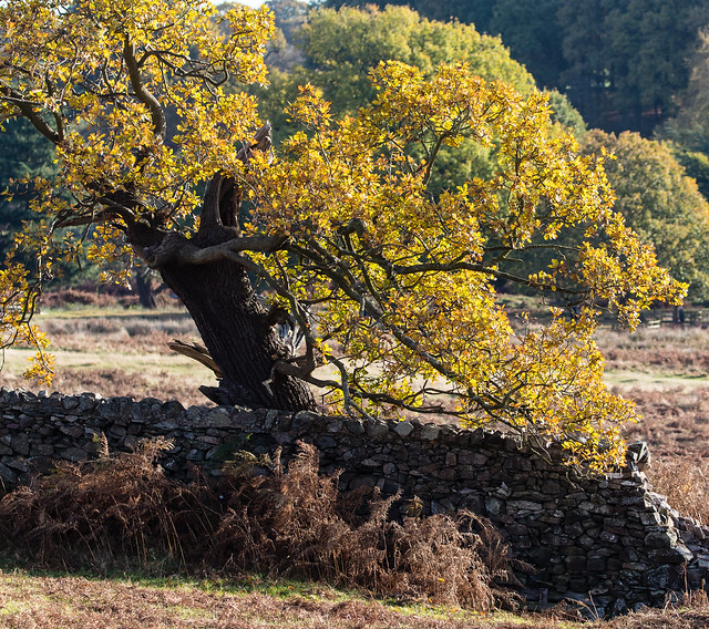 veteran oak 068__518