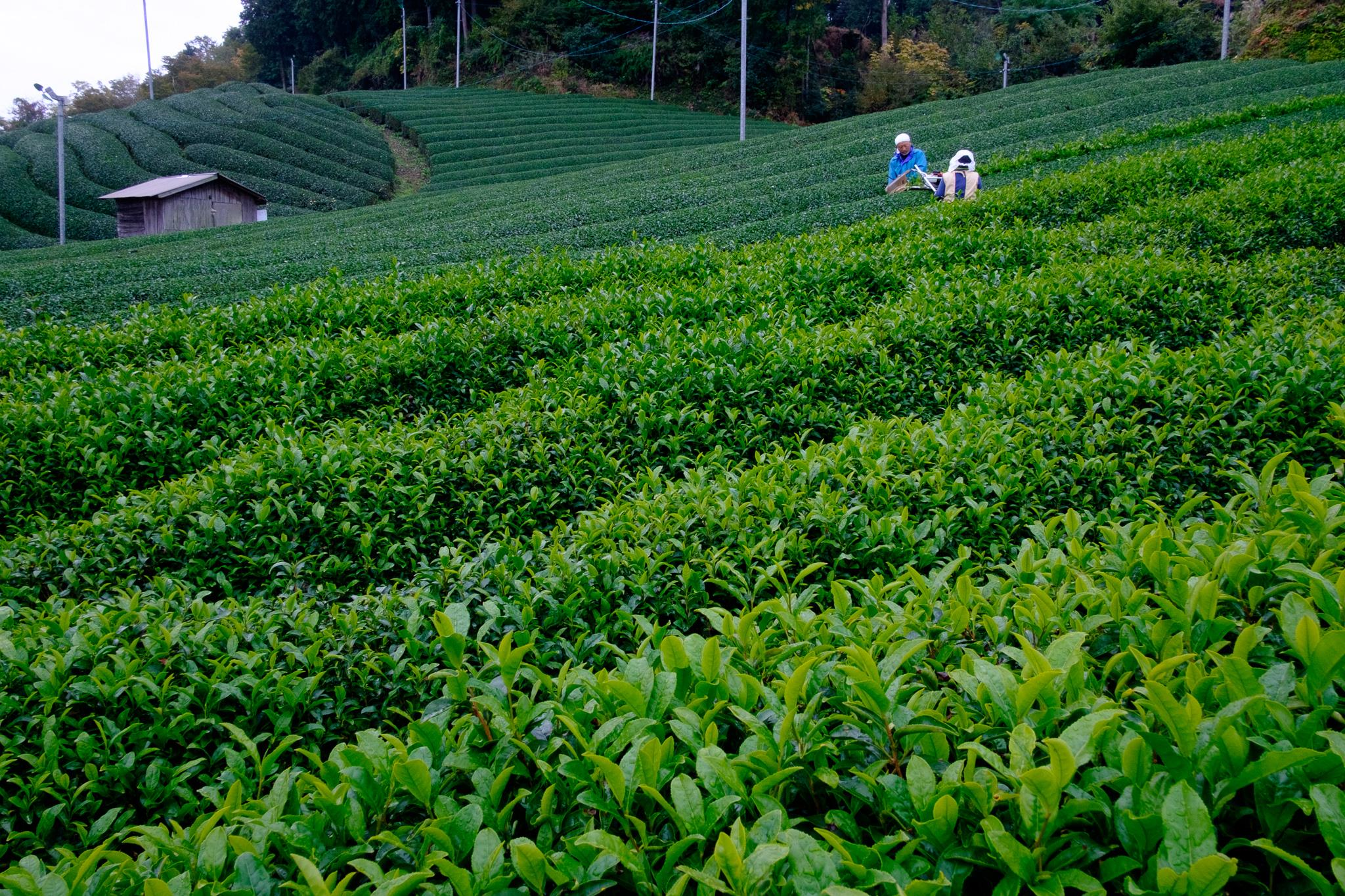 Farmers trimming new tencha leaves.