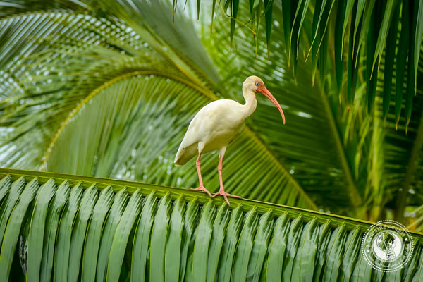 White Ibis in Sierpe
