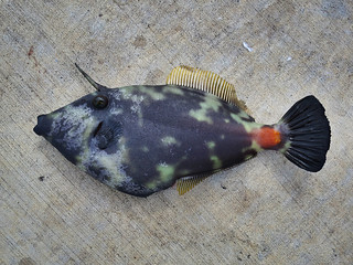 smooth trunkfish juvenile