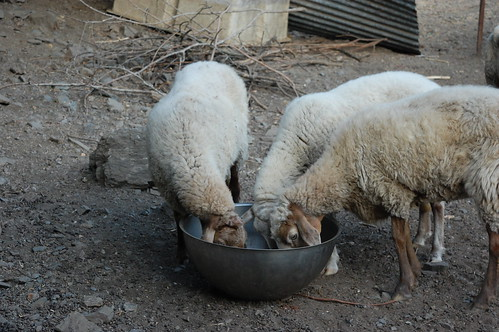 Comedero para ovejas hecho con medio calderín