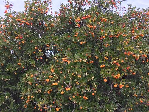 Arbousier - Arbuste