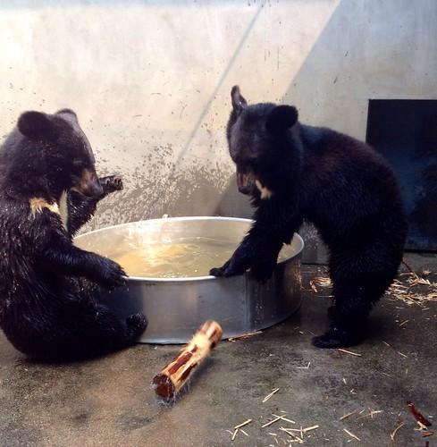 Bears play with a log beside the metal pool