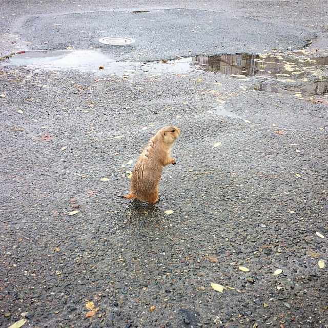 Corinne and I met a fat little prairie dog outside the cafe today.
