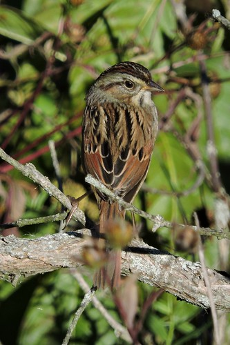 Swamp Sparrow #100 (Lifer #157)