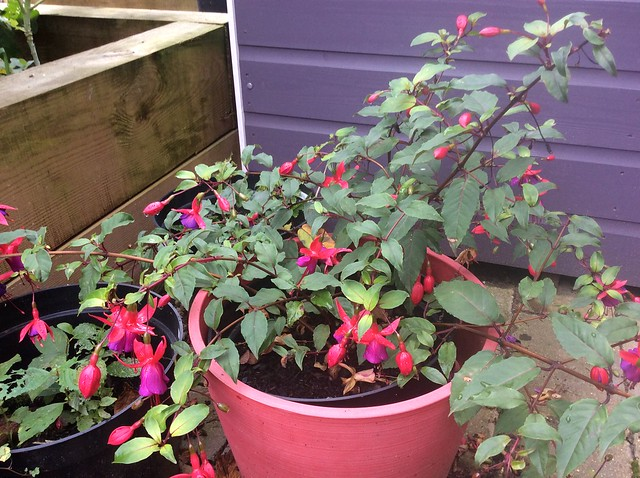 Edible fuchsia berry still flowering in November