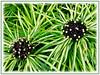Osmoxylon lineare 'Variegata' (Variegated Miagos Bush, Green Aralia)