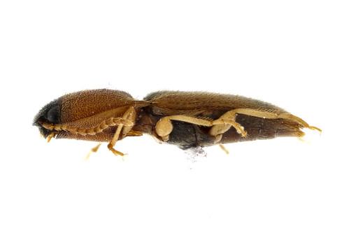 マダラチビコメツキ Prodrasterius agnatus (Candèze, 1873)-3-3