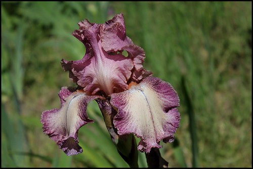 Iris Rancho Rose  (1)