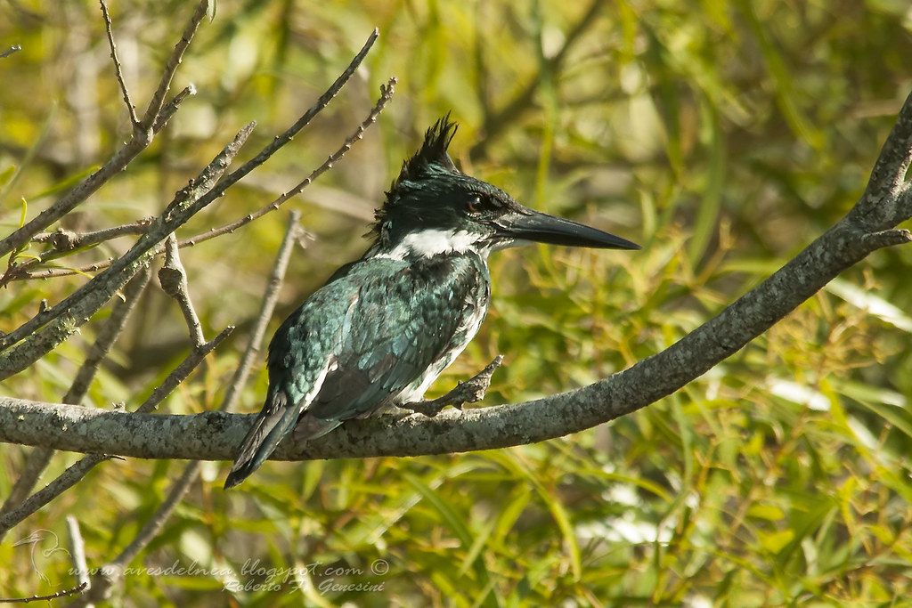 Martín pescador chico (Green Kingfisher) Chloroceryle americana