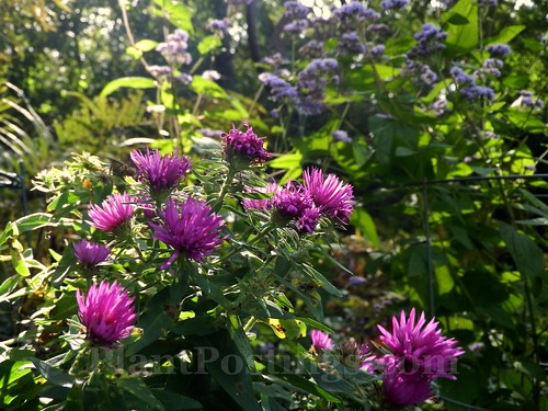 asters and mistflower