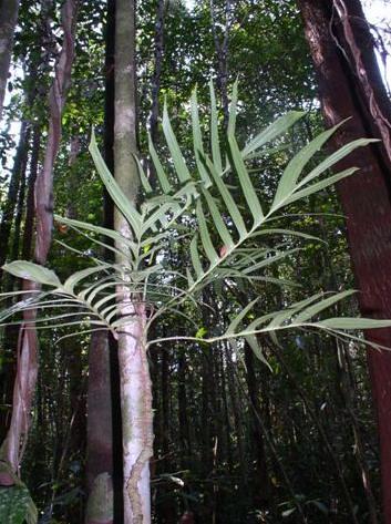 Rhaphidophora tenuis boyce2