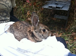 A New England cottontail.
