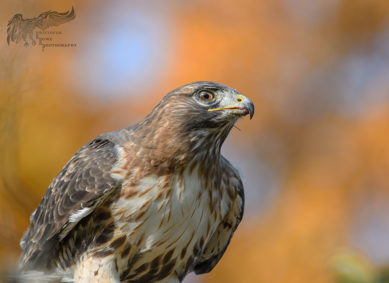 D500, Tamron 150-600 G2 and Red Tail Hawk: Nikon Pro DX SLR (D500