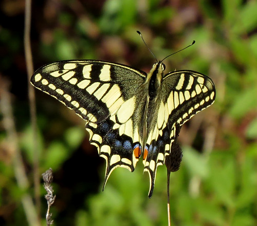 Swallowtail Papilio machaon Barao San Joao, Algarve October 2016