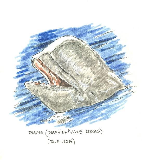 Beluga (Delphinapterus leucas)