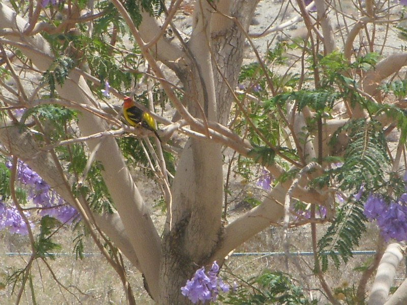 Western Tanager in Jacaranda Tree