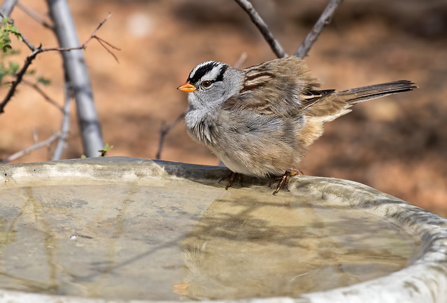White-crowned-Sparrow-13-7D2-100816