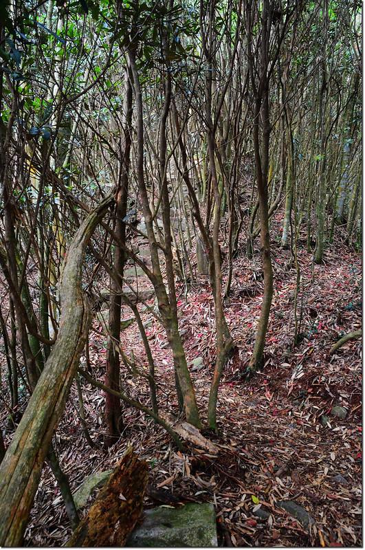 橫嶺山登山步道杜鵑林