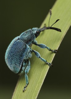 IMG_4775 weevil | by Troup1