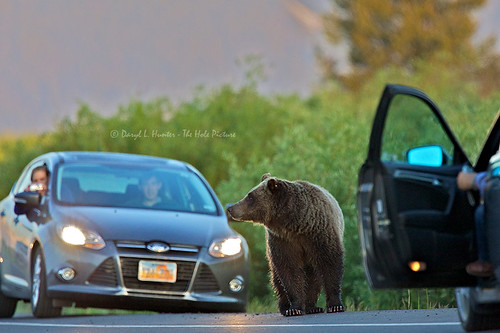Grizzly 610 Crossing Road | by Daryl L. Hunter - Hole Picture Photo Safaris
