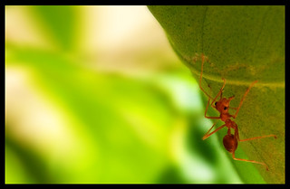 Tropical Ant | by Sayan Devaan Leanage
