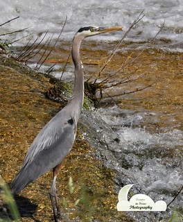Great Blue Heron | by Dreams In Focus Photography-Marie