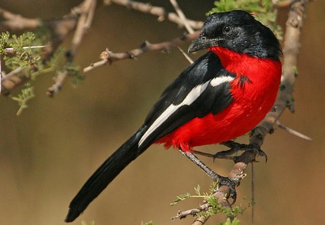 Shrike, Crimson-breasted