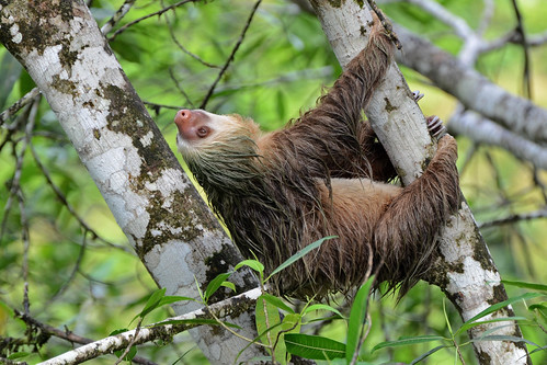 Two-toed sloth | by ggallice