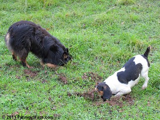 Bear and Bert on Mole Patrol | by Farmgirl Susan
