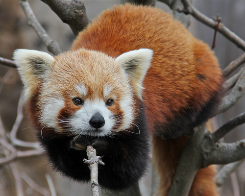 The Red Panda Holds On | by Mondmann