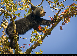 Black Bear Cub - Cade's Cove Great Smoky Mountains | by Dave Allen Photography