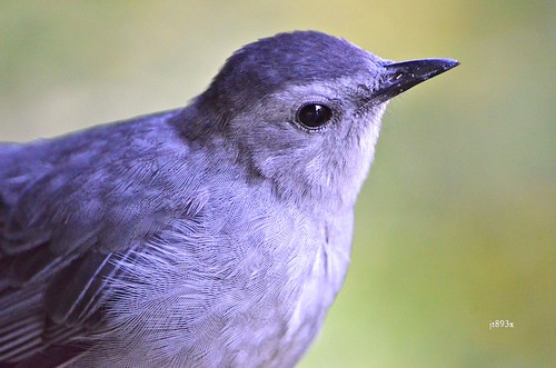 Gray Catbirds