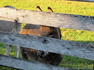 Gnat peeking through the fence | by Farmgirl Susan