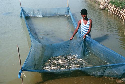 Harvesting fish, Bangladesh. Photo by WorldFish, 2003