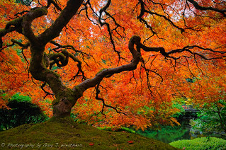 Japanese Maple | by Gary J Weathers