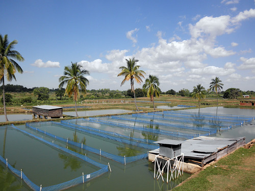 Fish breeding hapas at National Aquaculture Centre, Zomba, Malawi. Photo by Asafu Chijere, 2010
