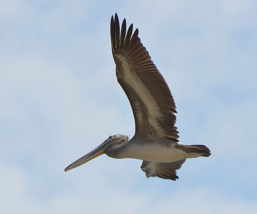 Brown Pelican Fly By | by mllehmann