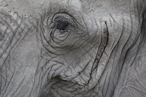 Amboseli elephant | by Environmental Investigation Agency (EIA)