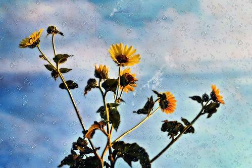 A Sunflower's Dream