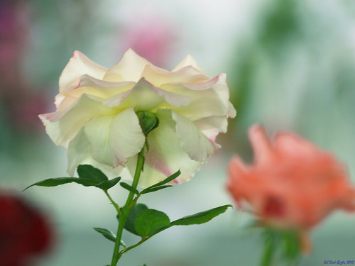 A Rose is a Rose is a Rose..8..The dreamy white.. | by ravi_gogte
