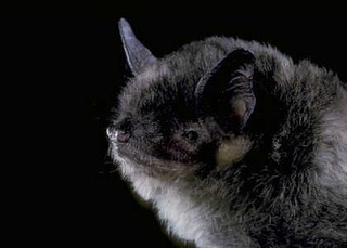 gray bat | by Contra Costa Times