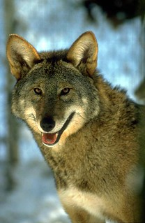 Red Wolf Portrait | by Red Wolf Recovery Program