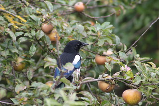 Blue Stripe Magpie Waiting | by RobSpalding