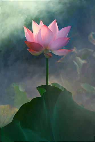 Lotus Flower | by Bahman Farzad