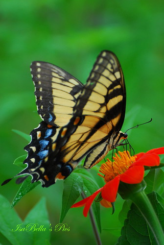 Tiger Swallowtail and Mexican sunflower | by glasskunstler