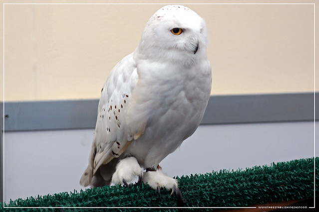Empire BIG SCREEN : Meet the animal stars of the movies! - Hedwig Harry Potter's pet Snowy Owl from the Harry Potter films
